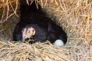 Hen laying eggs in her nest Stock Photos