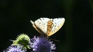 Butterfly Dark Green Fritillary (Argynnis aglaja)  is on a flower in backlit Stock Footage