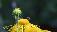 Fly eristalis collects nectar on a violet flower Stock Footage