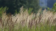 Meadow grass are swaying in the wind Stock Footage