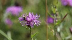Bee is on a brown knapweed flower Stock Footage