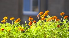Marigolds against house. Beautiful background Stock Footage