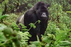 Silverback mountain gorilla in the misty forest Stock Photos
