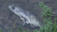 Dead salmon in the river after migrating upstream against the current to spawn  Stock Footage