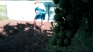 Young bunch of grapes, dig in the background man Stock Footage