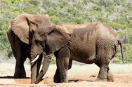 Big Elephant hiding behind his brother - African Bush Elephant Stock Photos