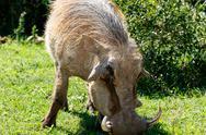 Close up view of a warthog - Pumba Stock Photos