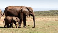 Baby elephant walking with his mother -African Bush Elephant Stock Photos