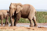 African Bush Elephant - Standing and striking a pose Stock Photos
