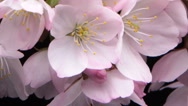 Flower blossom blooming timelapse Crab-apple flower on branch Stock Footage