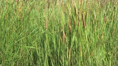 Reed in the wind, 4k Stock Footage
