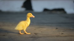 Little yellow sunny duckling Stock Footage