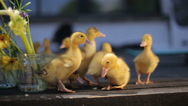 Teeny yellow duckligs Stock Footage
