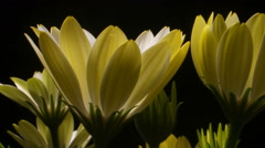 Yellow Flower time lapse blossom bud blooming White Lightning flowers Dolly shot Stock Footage
