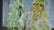 Senior man in sunglasses touching Cannabis plants Stock Footage