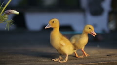 Two teeny yellow duckligs loking in camera Stock Footage