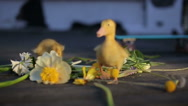 Cute domestic duckling walking in green grass outdoor Stock Footage