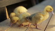 Little ducklings after the water drops shower Stock Footage