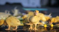 Cute yellow ducklings walking under water drops Stock Footage