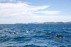 Bay of Islands dolphins Kuvituskuvat