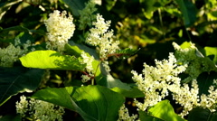 Blooming Sakhalin Knotweed Stock Footage
