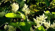 Blooming Sakhalin Knotweed Stock Footage