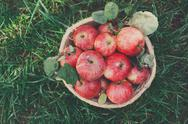 Basket with apples harvest on grass in garden, top view Stock Photos
