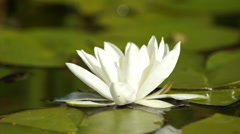 White water lily Stock Footage