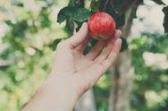 Hand pick red ripe apple on a tree in garden Stock Photos