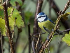 Perched blue tit Stock Photos
