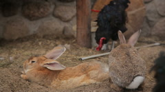 Hens and rabbits in a coop Stock Footage
