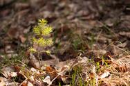 Young pine sprout in spring forest Stock Photos