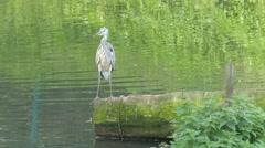 The grey heron. Ardea cinerea. Bird Stock Footage