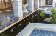 Koi Pond with Japan Colorful Carps Fishes Stock Photos