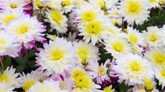 White-red-yellow chrysanthemum flowers in the garden. Panorama. Macro Stock Footage