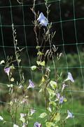 A vine convolvulus flowers growing on green garden netting Stock Photos