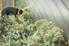 A woman working in polytunnel in large vegetable garden Stock Photos