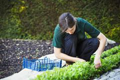 A woman cutting salad leaves from a crop planted in the ground Stock Photos