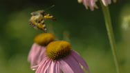 Butterfly and bumblebee on a Echinacea flower Stock Footage