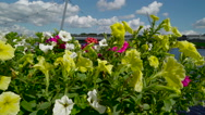 The fresh flowers and the Peace Bridge Stock Footage