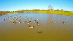 Aerial over lake or pond in the park with geese Stock Footage
