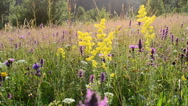 Wild flowers in mountains. Stock Footage