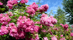 Roses on a fence Stock Footage