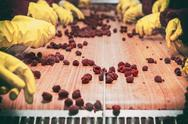 Frozen red raspberries in sorting and processing machines Stock Photos