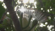 Flower of Fish poison tree Stock Footage