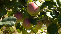 Rural Area. Country Garden. Tree With Bunch of Ripe Apples Hanging on Branches. Stock Footage