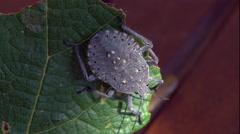 A bug walks on a vine leaf Stock Footage