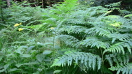 Fern in the wood Stock Footage
