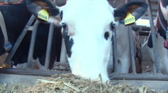 Countryside. Livestock Farm. Feeding Time. Cow With White Head Eating Silage, Stock Footage