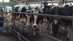 Rural Area. Farm. Cows Standing Behind the Metal Fence. Young Clean Animals Stock Footage